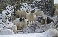 Sheep sheltering from the snow