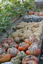Pumpkins and squashes ...