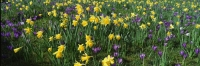 Daffodils and crocuses
